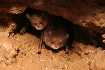Bats look out of the nest