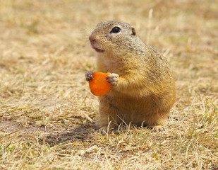 Ground Squirrel Holding Carrot