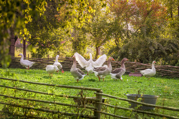Goose farm in summer - Group of geese at a small german bird farm, in a summer decor with green grass and trees, surrounded by a wattled fence