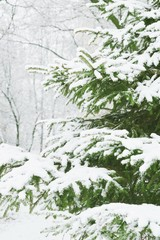 Green pine tree in the snow/ Spruce, fir in winter weather. Beautiful landscape. Vertical stock photo