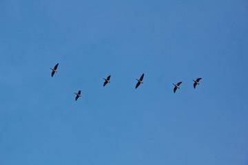 Gänse, Tiere, Vögel, im Himmel, blau
