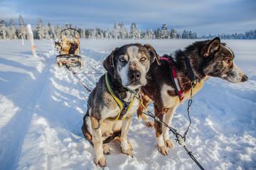 Two huskies pulling sledge, Finland