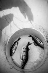 Three fish, ice fishing, Finland, black and white