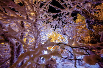 Snow on branches, Finland