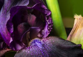 purple iris flower close up