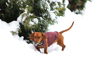 Dog with coat in the snow.
