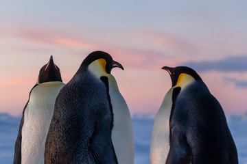 Group of emperor penguins discussing climate change