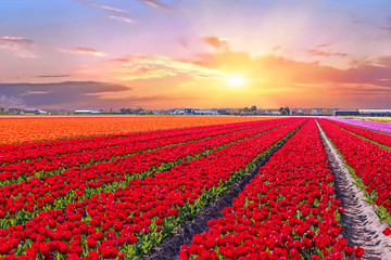 Wall Murals Red Blossoming tulip fields in a dutch landscape at sunset in the Netherlands