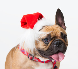 Animals. One beige dog French Bulldog white isolated, Christmas