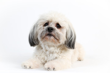 sweet white Havanese dog