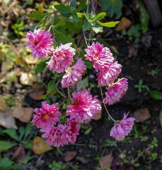 fresh pink spray chrysanthemum