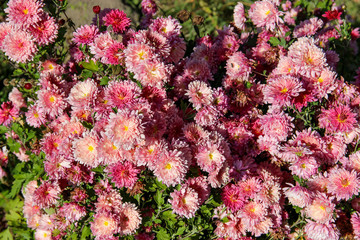 fresh pink spray chrysanthemum