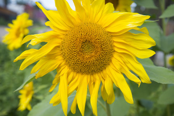 Large yellow sunflowers on our farm.