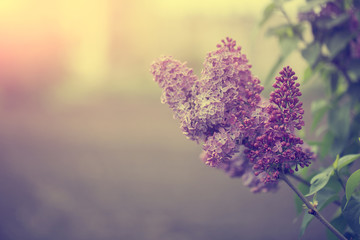 Lilac flower in sunset. Vintage photo