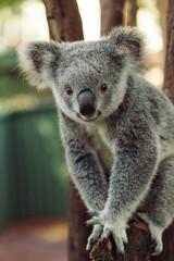 A cute baby Koala bear posing
