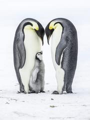 Emperor Penguins on the frozen Weddell Sea in Antarctica