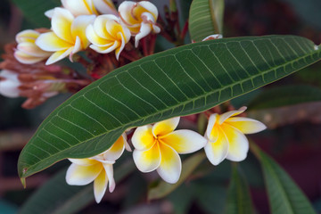Plumeria rubra flower. Bloom white flowers on bush. Natural floral background.