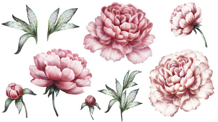 Set vintage watercolor elements of pink peonies, collection garden flowers, leaves, illustration isolated on white background. bud and leaf, peony