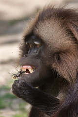 Fototapete - Gelada baboon (Theropithecus gelada) eating the stag beetle