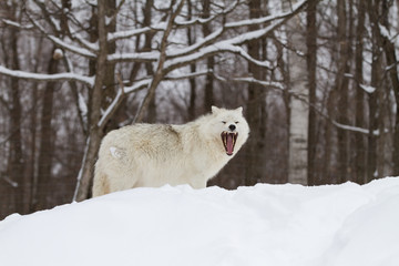 A lone Arctic wolf (Canis lupus arctos) isolated on white background howling in the winter snow in Canada