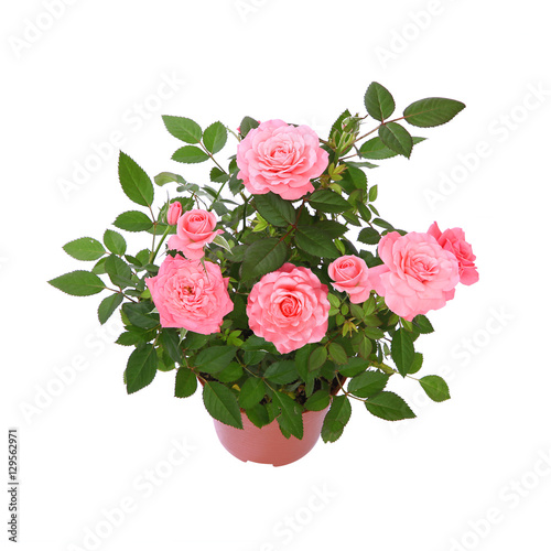 mini rosier rose photo libre de droits sur la banque d 39 images image 129562971. Black Bedroom Furniture Sets. Home Design Ideas