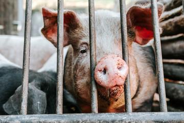 Schwein im Gehege/Schwein streckt seine Nase durch Gitterstäbe