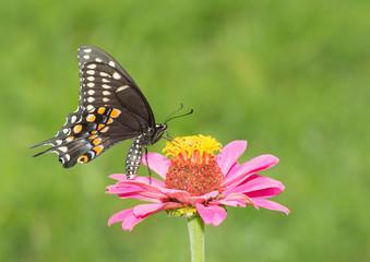 Black Swallowtail butterfly feeding on a pink Zinnia in summer garden