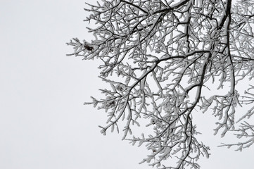 Wintry branches after the first snow of the year