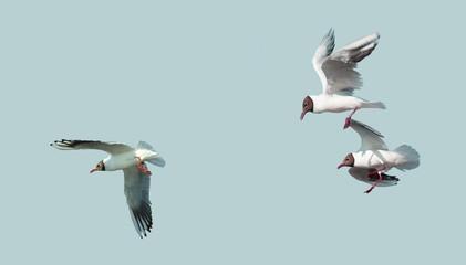 Bird seagull in flight.