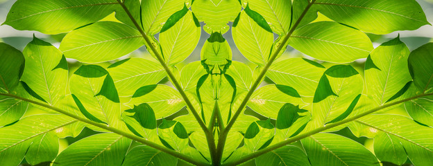 abstract background of green leaves sunlight shines, Konjac leaves