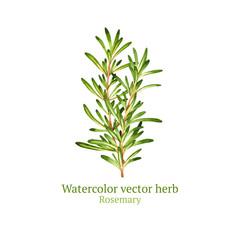 Watercolor vector rosemary