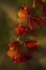 Red berries, growing on tree