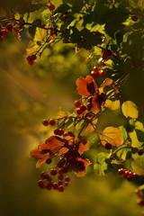 Fall berries growing on tree