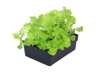 Barquette de plants de salade batavia