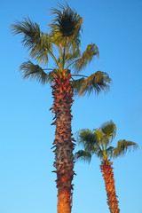 Palm trees bended on the wind