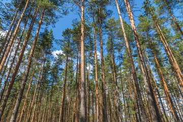 A majestic pine trees growing high in the blue sky