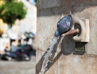 Pigeon des villes sur une fontaine