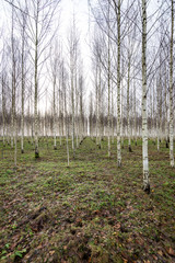 Autumn birch trees growing in lines with naked branches