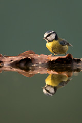 Wall Mural - Blue tit perched on leaves at the edge of water showing reflection in the water.