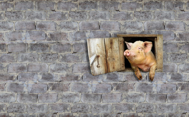 pig looks out from window of shed on the stony wall