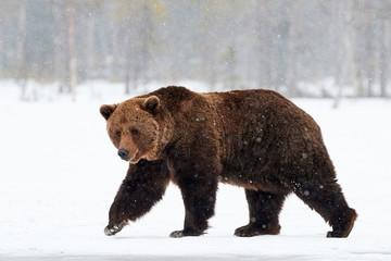 brown bear walking in the snow