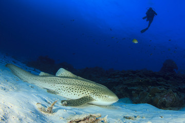 Scuba divers and Zebra Shark (Leopard Shark)