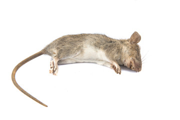 Dead rat (Mouse), on white background