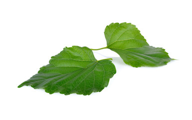 fresh mulberry leaves on white background