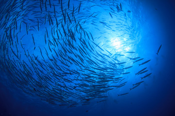 Scuba diving with fish. Barracuda school in ocean