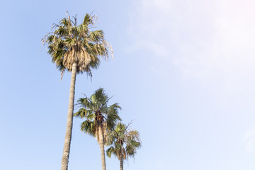 coconut plam trees with blue sky