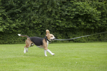dog beagle running outdoor in a park