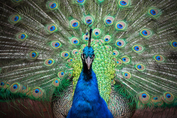 peacock with feathers out