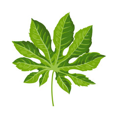 Full fresh leaf of fatsia japonica palm tree, vector illustration isolated on white background. Realistic hand drawing of fatsia japonica palm tree leaf, jungle forest design element