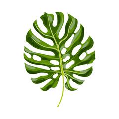 Full fresh leaf of monstera palm tree, vector illustration isolated on white background. Realistic hand drawing of monstera palm tree leaf, jungle forest design element